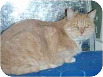 Domestic Shorthair Cat for adoption in Pasadena, California - Florence