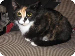 Calico Cat for Sale in Raritan, New Jersey - Luci