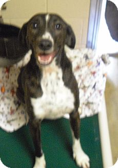 Hound (Unknown Type) Mix Dog for Sale in Wickenburg, Arizona - Mattie