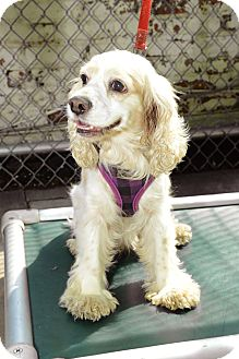 Cocker Spaniel Dog for Sale in New York, New York - Janice