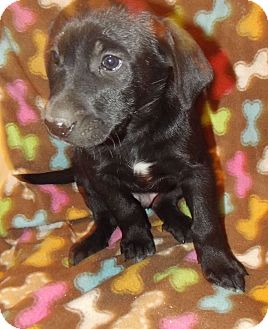 Labrador Retriever Mix Puppy for Sale in Morgantown, West Virginia - Axe