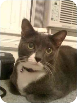 Domestic Shorthair Cat for adoption in Little Falls, New Jersey - LEXUS (MP)