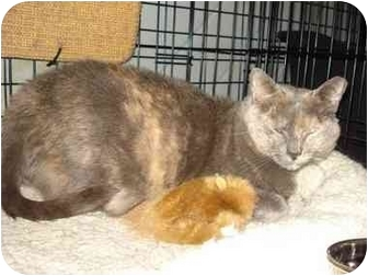 Domestic Shorthair Cat for adoption in Smithtown, New York - Dora