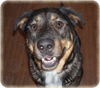 Rottweiler/Shepherd (Unknown Type) Mix Dog for Sale in Howell, Michigan - Dar
