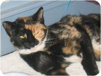Calico Cat for adoption in Tempe, Arizona - Callie