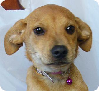Labrador Retriever/Jack Russell Terrier Mix Puppy for Sale in Thousand Oaks, California - Honey