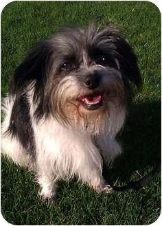 Shih Tzu/Terrier (Unknown Type, Small) Mix Dog for Sale in Los Angeles, California - LUNA