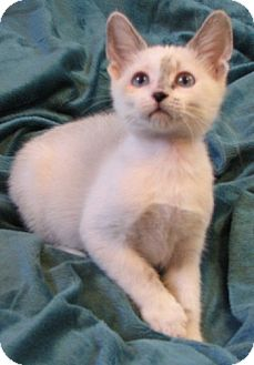 Siamese Kitten for Sale in Vacaville, California - Blaze
