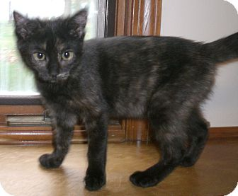 Domestic Shorthair Kitten for Sale in Grand Rapids, Michigan - Penny