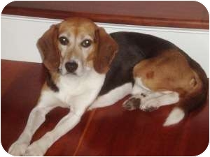 Beagle Dog for Sale in Yardley, Pennsylvania - Mcgruff