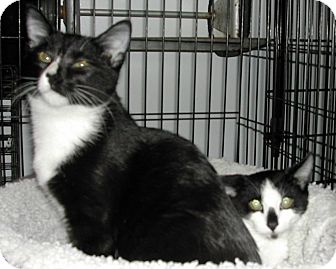 Domestic Shorthair Cat for adoption in Bear, Delaware - Molly &amp; Mosby