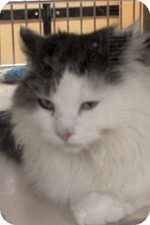 Domestic Mediumhair Cat for Sale in Salem, New Hampshire - Kelesy