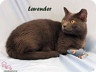 Domestic Shorthair Cat for adoption in St Louis, Missouri - Lavender