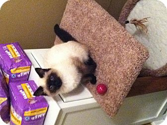Siamese Kitten for Sale in Salem, New Hampshire - Coco/Mocha