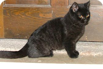 American Shorthair Kitten for Sale in Chattanooga, Tennessee - Blackberry