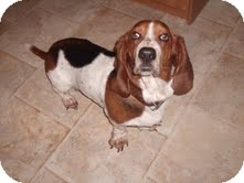 Basset Hound Dog for Sale in Sherman, Connecticut - Josie