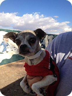 Pug/Chihuahua Mix Dog for Sale in scottsdale, Arizona - Elinor Rigby