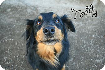 Australian Shepherd Mix Dog for Sale in Hamilton, Montana - Teddy