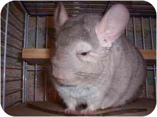 Chinchilla for Sale in Avondale, Louisiana - Chester
