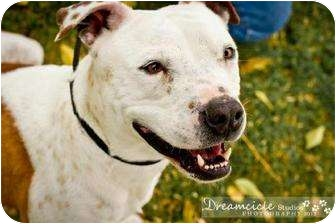 American Pit Bull Terrier Dog for adption in Phoenix, Arizona - Draiman