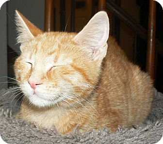 Domestic Shorthair Cat for Sale in Apex, North Carolina - Jake