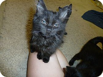 Domestic Mediumhair Kitten for Sale in Fairborn, Ohio - Silkie-Springfield Litter