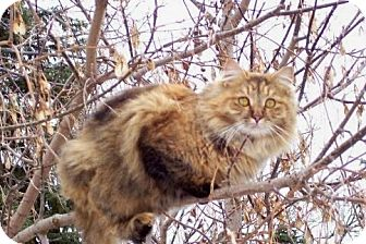 Domestic Longhair Cat for adoption in Clay, New York - Foxy Maine Coon