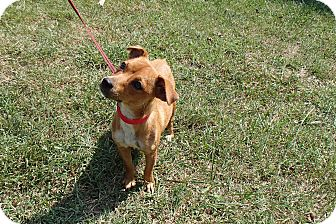 Dachshund/Chihuahua Mix Dog for Sale in Bedford, Virginia - Sonny