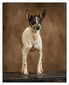 Rat Terrier Dog for adption in Owensboro, Kentucky - Fiona