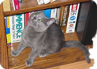 Russian Blue Kitten for Sale in Harrisburg, North Carolina - Mickey