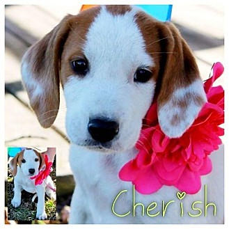 Coonhound Mix Puppy for Sale in Westland, Michigan - Cherish