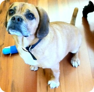 Pug/Bulldog Mix Dog for Sale in Baltimore, Maryland - Zachary