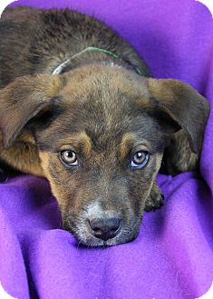 Shepherd (Unknown Type)/Australian Cattle Dog Mix Puppy for Sale in Westminster, Colorado - Niles