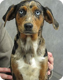 Australian Shepherd/Hound (Unknown Type) Mix Puppy for Sale in Harrisonburg, Virginia - Kaylee