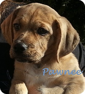 Labrador Retriever/Whippet Mix Puppy for Sale in Westland, Michigan - Pawnee