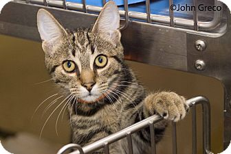 Domestic Shorthair Cat for Sale in Elfers, Florida - Morgan