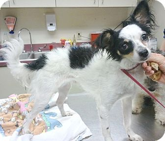 Papillon/Poodle (Miniature) Mix Dog for adption in Orlando, Florida - Trotter