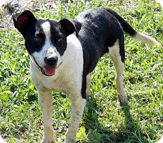 Border Collie Mix Dog for Sale in Port Orange, Florida - Cow