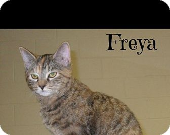American Shorthair Cat for adoption in Shippenville, Pennsylvania - Freya