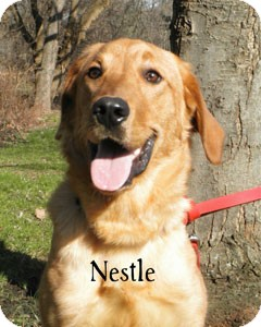 Retriever (Unknown Type) Mix Dog for Sale in Warren, Pennsylvania - Nestle