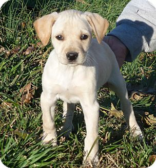 Labrador Retriever/Golden Retriever Mix Puppy for Sale in Glastonbury, Connecticut - Cocoa~adopted~