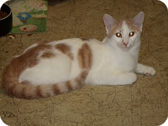 Domestic Shorthair Cat for adoption in Scottsdale, Arizona - Terrific one-year-old