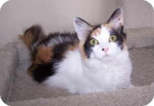 Domestic Mediumhair Kitten for Sale in Colorado Springs, Colorado - K-MaryG3-Sasha