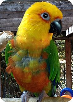 Conure for Sale in Mantua, Ohio - COSMO