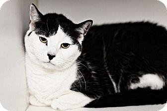 American Shorthair Cat for adoption in Phoenix, Arizona - Charlie