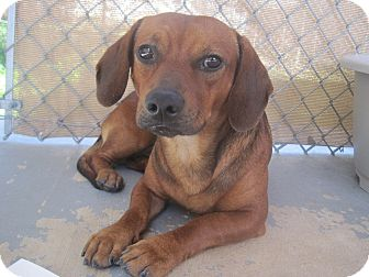 Hound (Unknown Type) Mix Dog for Sale in san antonio, Texas - Michaelangelo