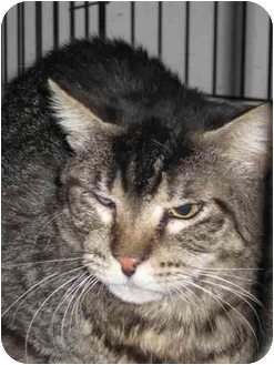 Domestic Shorthair Cat for adoption in Las Vegas, Nevada - Steve-O