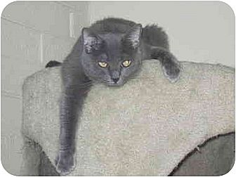 Russian Blue Cat for adoption in Tempe, Arizona - Kaetu