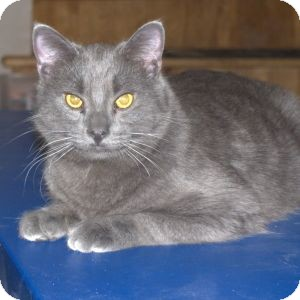 Domestic Shorthair Cat for Sale in Colorado Springs, Colorado - K-Hodnick3-Ashanti