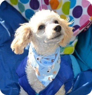 Poodle (Standard) Mix Puppy for adption in San Diego, California - Alvin